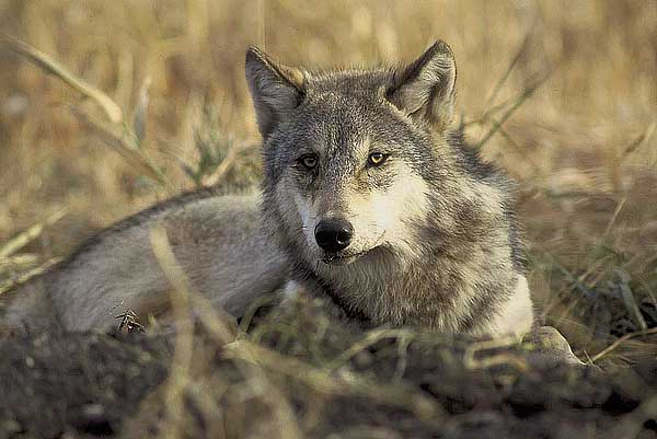 ¿Por qué aúllan los lobos? Pues... Depende de cada lobo y de su relación con la manada.