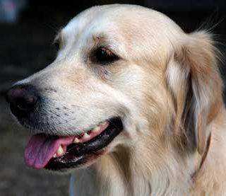 #Perros de alerta para diabéticos, su eficacia va más allá de lo que se conocía.