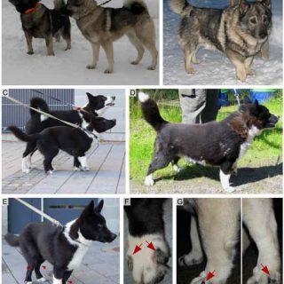 #Veterinaria. Enanismo en perros, encontrada una nueva mutación responsable de la displasia en elkhound y cazador de osos de Carelia.