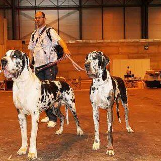 Estudio en marcha para conocer la torsión gástrica en perros.