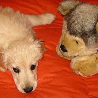 Micoroquimerismo en perros: cachorros hembra con cromosoma Y.