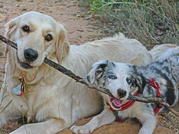 """""""Con los juegos de tira-afloja los perros se hacen dominantes y agresivos"""": Jugar con mordedor, rompiendo mitos."""