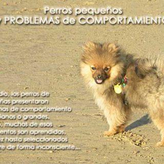 Los #perros pequeños tienen más problemas de comportamiento ¿Seguro? Y si fuera cierto... ¿por qué es así?