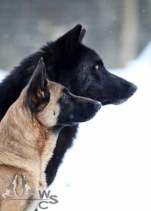 Buscando los orígenes de la cognición social en el perro y el lobo. estudio científico c/vídeo.