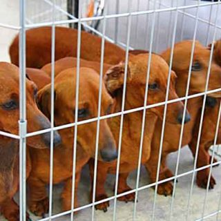 ¿Debería prohibirse la venta de perros por particulares, en tiendas o por Internet?