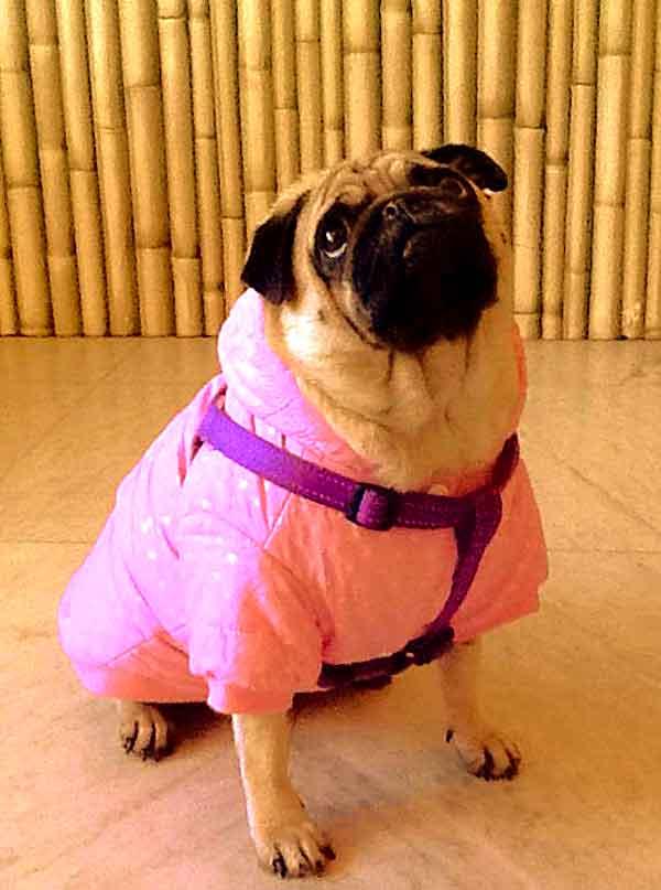 la Medicina Veterinaria Tradicional China se ha mostrado como una excelente herramienta para tratar a perros braquicéfalos (bulldog francés o inglés, carlino, pequinés...).
