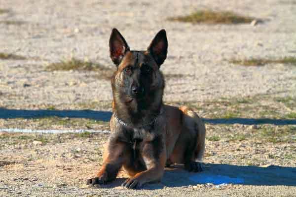 Las órdenes o comandos en el adiestramiento canino ¿mejor en inglés, alemán, francés... o en castellano?
