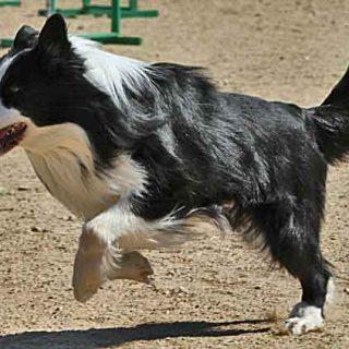 Border collie en la lista de os perros más inteligentes (según Stanley Coren)