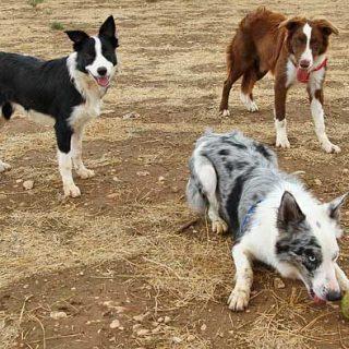 #Perros: predación Vs adiestrabilidad. Los perros con más instinto de caza son los más adiestrables, un estudio lo demuestra.