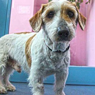 """La protectora El Refugio rescata a """"Curro"""", un perro abandonado tras doce años de vida en familia."""
