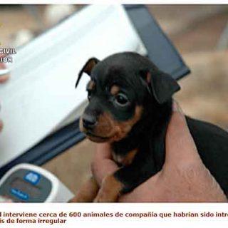 La Guardia Civil interviene cerca de 600 animales de compañía que habrían sido introducidos en hogares del país de forma irregular