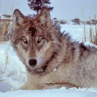 """#Perro alfa, líder de la manada y la """"dominancia""""... ¿Cómo se comportan los lobos en las manadas? ¿No son los perros igual que los lobos?"""