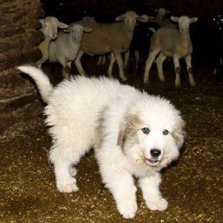 Agricultura entrega dos nuevos perros que protegen los rebaños en el Parque Natural del Alto Pirineo