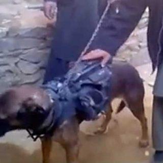 """Es el primer caso de #perro prisionero de guerra, """"Colonel"""" ha sido capturado en Afganistán."""