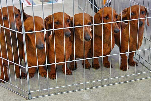 Las granjas de cachorros siguen funcionando en Europa, te damos las claves para evitar que te engañen.