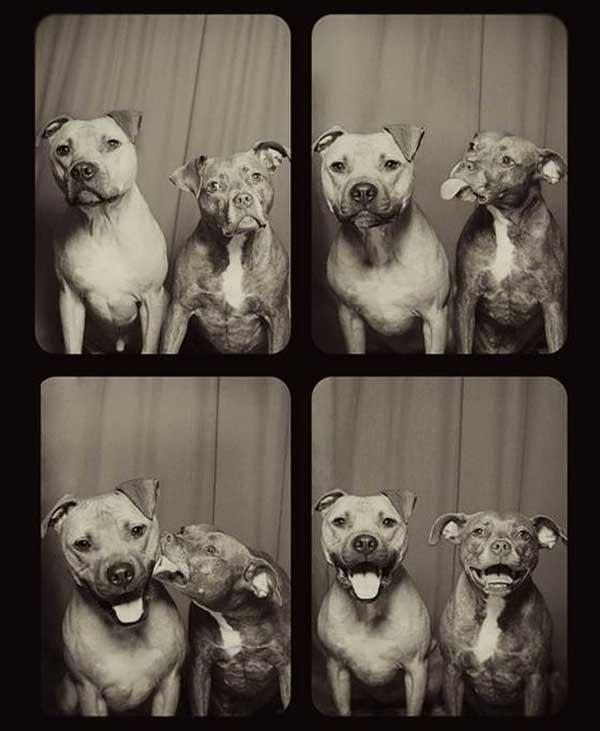 """¿Qué pueden hacer dos pit bull en un """"fotomatón""""? Lynn Terry lo ha descubierto :-)."""