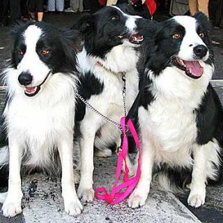 Los #perros son personalidades individuales, poseen conciencia, y son particularmente conocidos por su capacidad de aprendizaje... Pero ¿es igual a lo largo de toda su vida?