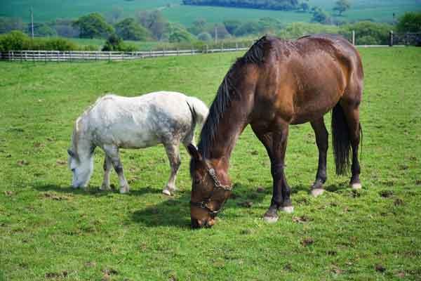 #Veterinaria ¿Pueden ser los caballos, burros y mulas un reservorio de Leishmania?