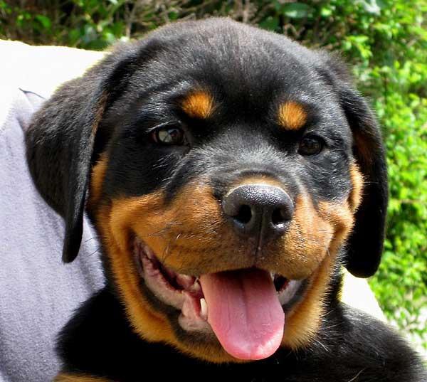 ¿Las razas de los #perros marcan un comportamiento predecible?
