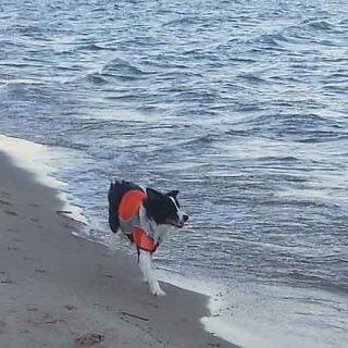 Mejores playas... Gracias a los border collies