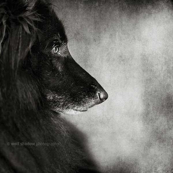 Wolf Shadow Photography es especialista en f#fotografía de #perros. Imágenes espectaculares llegadas desde Australia.