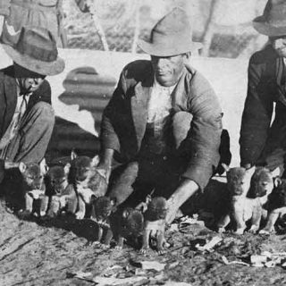 Los dingos no son perros de compañía