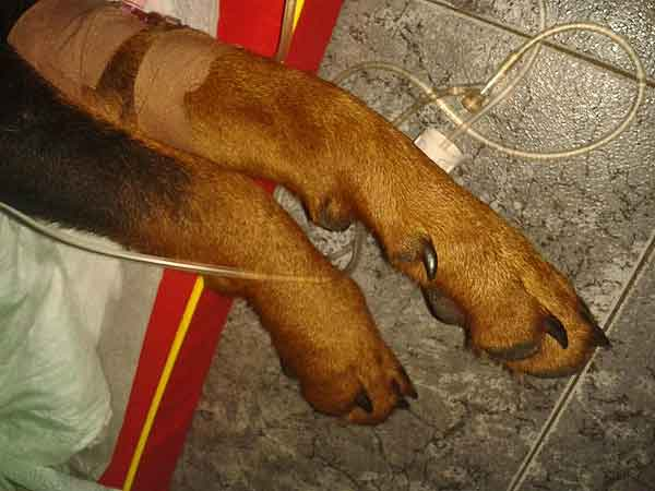 PACMA denuncia el terrible caso de 'Atila', un perro tiroteado y golpeado en Júzcar (Málaga).