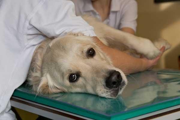 #Veterinaria. Se desarrolla un tratamiento de Inmunoterapia contra el cáncer en #perros. Científicos han desarrollado, por primera vez, los anticuerpos para tratar el cáncer en perros.