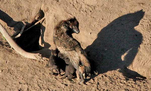 La muerte de un solo lobo afecta a toda la manada, que puede incluso desaparecer.