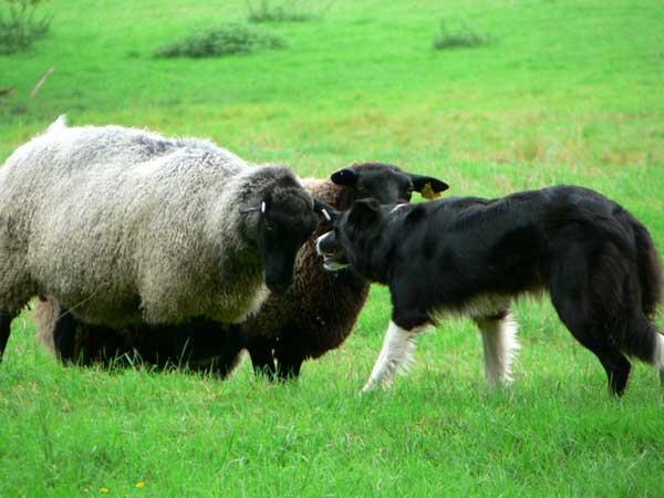 El pastoreo con perros, a examen: Dos reglas manejan el cerebro del perro pastor.