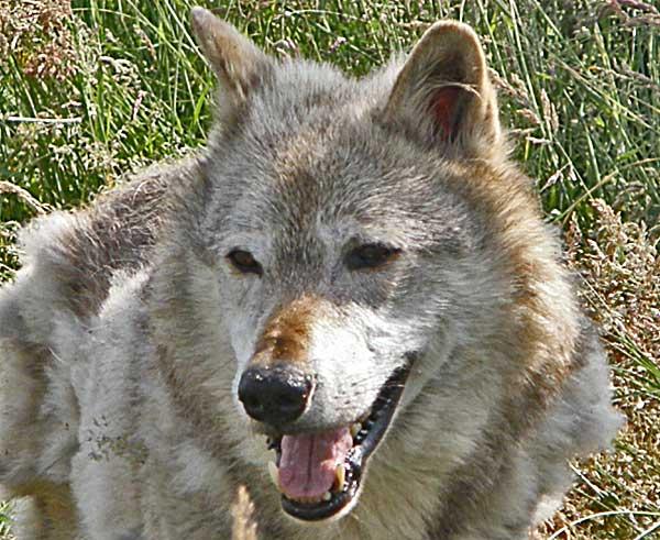 #Perros, lobos, jerarquías, cooperación y una nueva visión sobre la relación con el hombre y la domesticación.