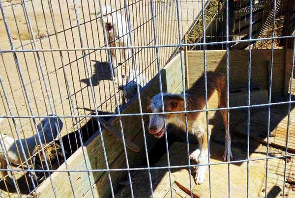 52 perros de caza incautados por la Guardia Civil en Villa del Prado, una veintena de perros tuvieron que ser trasladados de urgencia para su hospitalización.