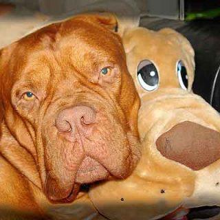 ¿Lo sabías? Los perros pesimistas son buenos perros guía, los perros optimistas mejores detectores.