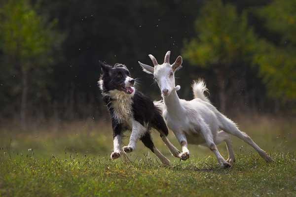 Fotografía de perros de acción. Mushing, pastoreo o simple ocio, pero siempre fotos impactantes.