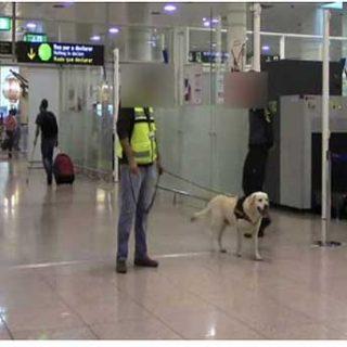 """Pipo, un perro """"pasivo"""" detector de drogas de la Guardia Civil, descubre en la maleta de un pasajero del aeropuerto del Prat más de 4 kilogramos de cocaína"""