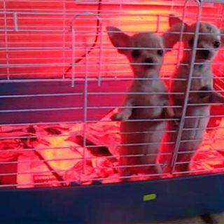 400 cachorros intervenidos por la Guardia Civil.