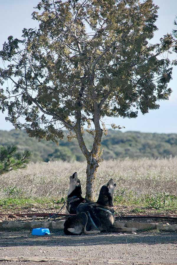@Mushingmonegros Acaba la XXIII Travesía de Los Monegros con Perros de Tiro.