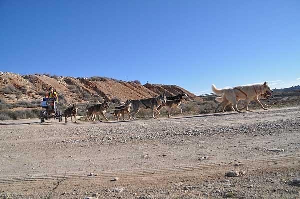 @Mushingmonegros Empieza la XXIII Travesía de Los Monegros con Perros de Tiro. 155 kilómetros de recorrido.