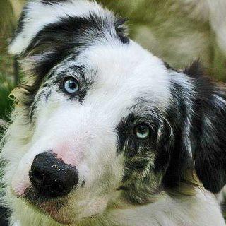 """Inteligencia del perro Vs inteligencia del hombre ¿""""Cuántas"""" inteligencias tenemos?"""