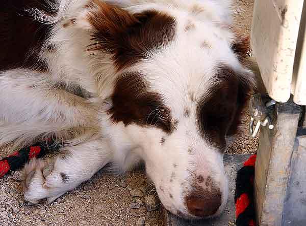 """Más de 1.000 perros muertos desde 2007. Las golosinas para perros """"made in China"""" por fin se retiran en EE.UU."""