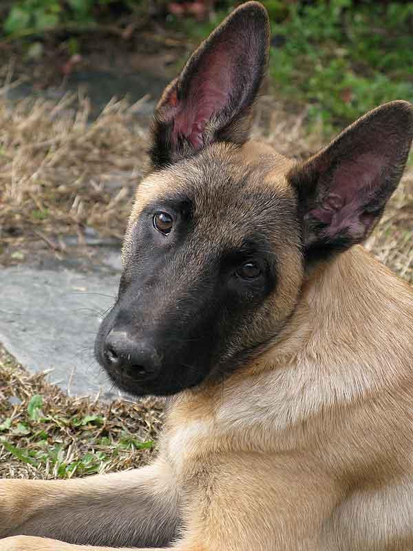 Los perros pueden discriminar las expresiones emocionales de los rostros humanos