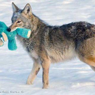 ¿Y si un coyote salvaje se encontrara con el juguete de un perro?... ¡El juego es un lenguaje universal!
