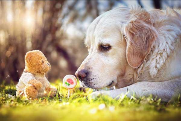 Fotografía de perros: Mr. Golden retriever MALI ¿todavía no conoces a su oso de peluche?