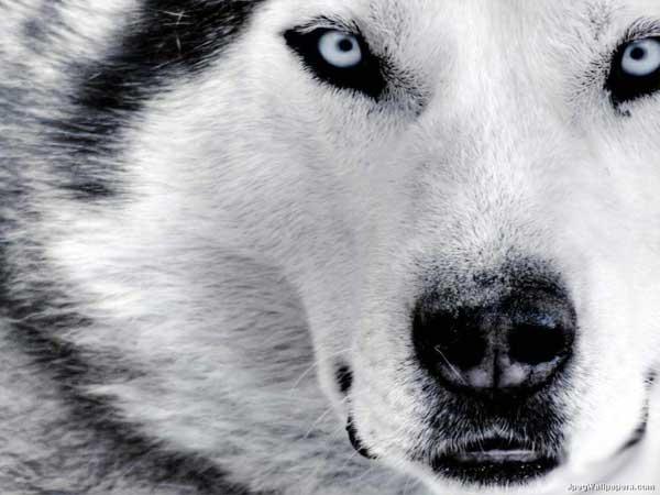 Los ojos del perro siberiano, de Antonio Santa Ana.