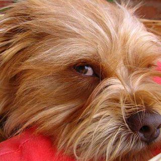 ¿Debo vacunar a mi perro? Pros y contras de la vacunación en perros.