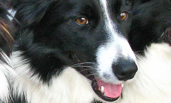 Deporte con #perros. Border collie Classic 2015, vídeo de la final.