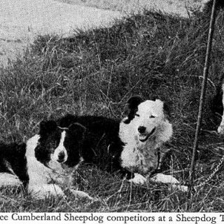 Razas de #perros: Cumberland sheepdog, el origen del border collie.