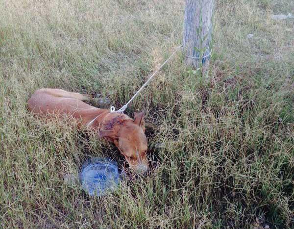 El Refugio rescata en Adra, Almería, un perro apuñalado en la nuca y atado de pies y manos