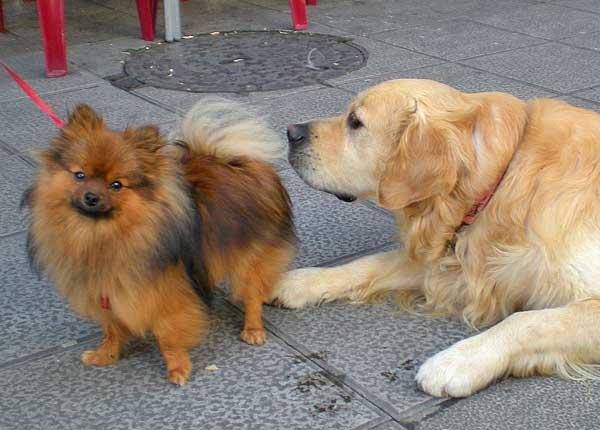 """#Perros """"grandes"""" Vs perros """"pequeños"""". ¿Influye el tamaño en los problemas de comportamiento?"""