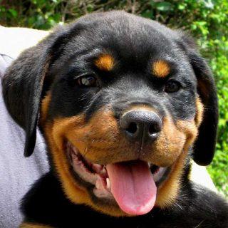 10 razas de #perros que necesitan un trabajo para ser felices. Lista del American Kennel Club.